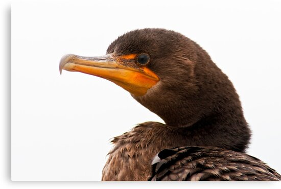 Isolated Close-up Double Crested Cormorant by Michael Mill
