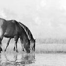 Banker Horses in Black & White by NCBobD