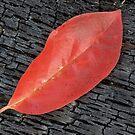Red Leaf on Burnt Log - Nusiok Trail by NCBobD