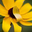 Shy Flower- A Black Eyed Susan Past its Prime by NCBobD