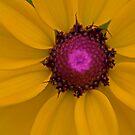 Sunburst - Black Eyed Susan Close-up by NCBobD