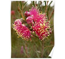 Australian Native Plants 19-20 Poster
