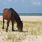 Wild Mustang on Shackleford Banks Beach by NCBobD