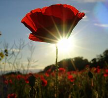 Sunshine through the poppies! by weecritter