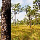 Croatan Forest Pine Savannah by NCBobD