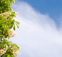 blooming Aesculus tree on blue sky Sticker
