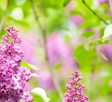Purple Syringa vulgaris Sticker