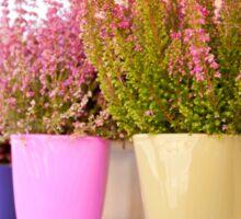 Shop stand with blooming Calluna vulgaris Sticker