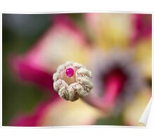 Flower of floss silk tree Poster