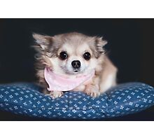 Chihuahua wearing pink bandana. Photographic Print