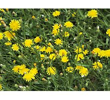 Thickets of small yellow flowers Picris Rigida Photographic Print