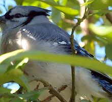 Downy blue jay by ♥⊱ B. Randi Bailey