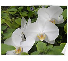 Phalaneopsis Aphrodite Orchid Poster