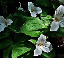 Trillium Patch by BonnieToll