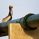 Brown Pelican on Green Pipe by Kenneth Keifer
