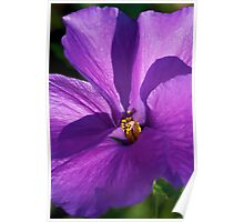 Native Hibiscus Poster
