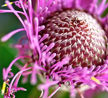 Pink Isopogon up close by Renee Hubbard Fine Art Photography