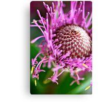 Pink Isopogon up close Canvas Print
