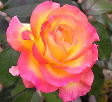 Where yellow merges into pink in a single bloom. by Philip Mitchell