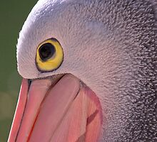 Pelican Close-Up by ImagesbyDi