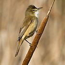 Reed-Warbler in Profile by Barb Leopold