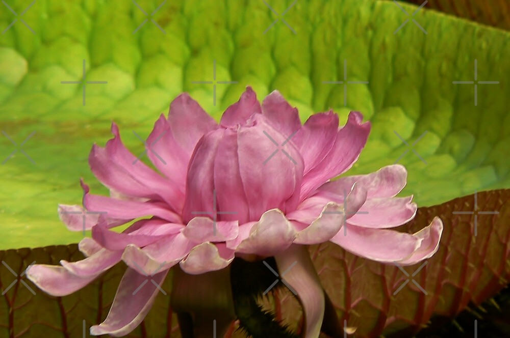 giant waterlily giant leaf by LisaBeth
