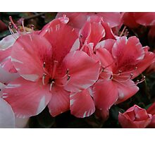 Pink Azaleas- (Taken By Sarah, 19 months old) Photographic Print