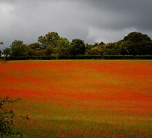 Poppies upon Poppies by FelicityB