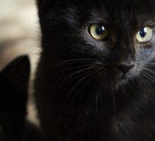 Beautiful Black Kittens Sticker