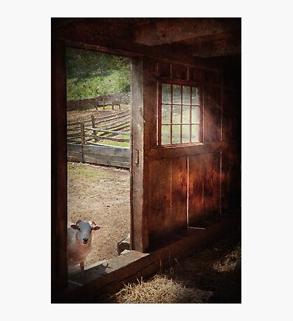Animal - Lamb - Hello, anybody home Photographic Print