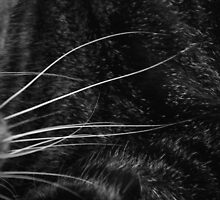 Whiskers by thinkhmm