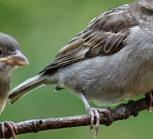 Fledgling house sparrows Sticker