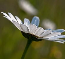 Daisy by Karen Havenaar