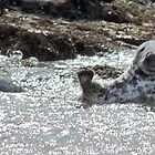 Grey Seal Waving by David Alexander Elder