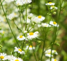Herbs on the lawn - small white camomile flowers Sticker