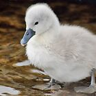 Baby cygnet takes dip. by David Alexander Elder