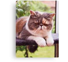 Exotic Shorthair - Persian Cat Canvas Print