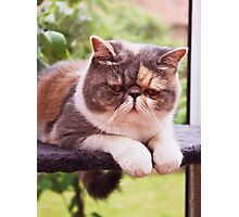 Exotic Shorthair - Persian Cat Photographic Print