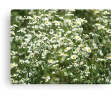 Herbs on the lawn - camomile flowers Canvas Print