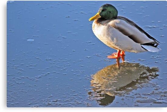 Mallard Duck Reflects by David Alexander Elder