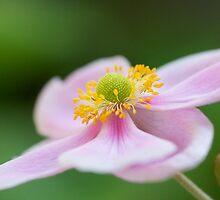 Lone Pink Japanese Anemone by Janice Chiu