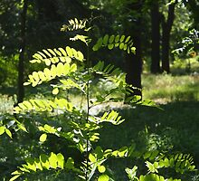 Young sapling acacia by vladromensky