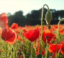 Beautiful poppies! by weecritter