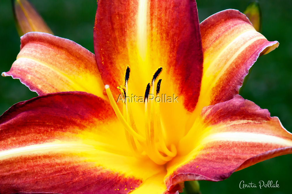 Red and Yellow Daylily by Anita Pollak