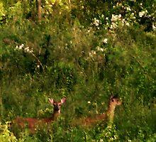 deer in Mineral Springs pasture by Laurkat