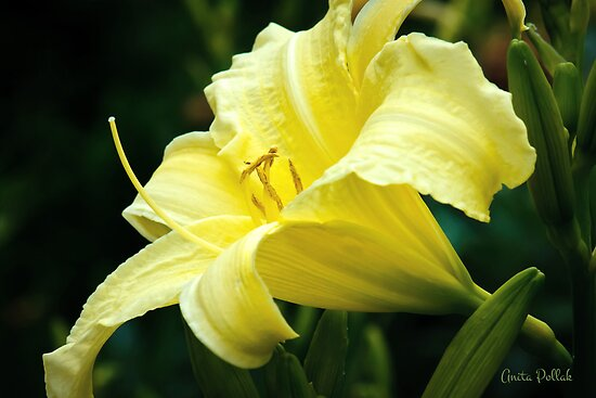 Yellow Daylily by Anita Pollak