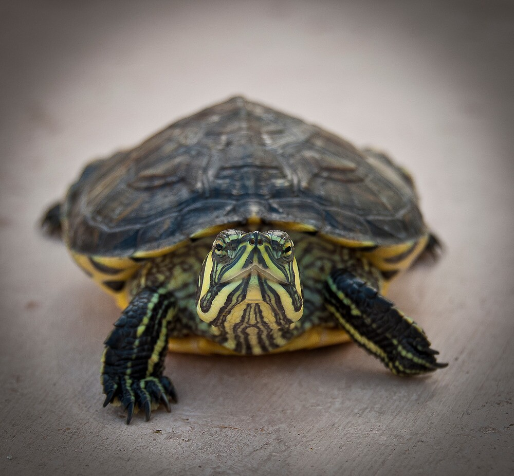 Tortuga by Juantolin