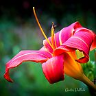 Red Daylily by Anita Pollak