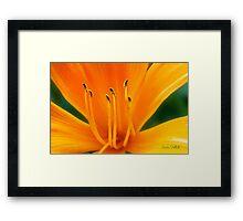 Orange Daylily Framed Print