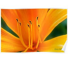 Orange Daylily Poster